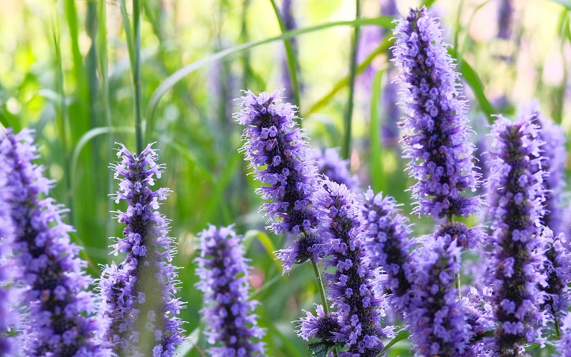Hyssop Plant - The Sacred Herb