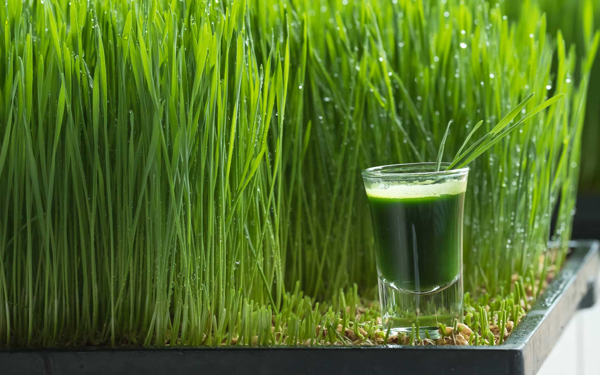 Wheatgrass Nutrition and its