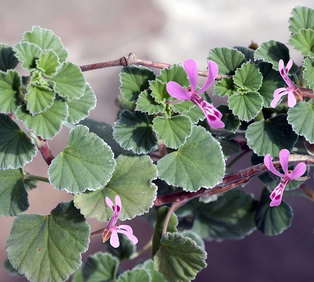 Umckaloabo - Pelargonium sidoides